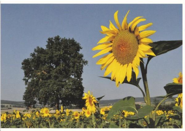Sonnenblumenfeld 2 / Grand Tournesol