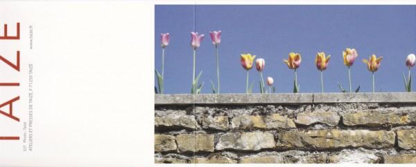 Tulpen auf der Mauer